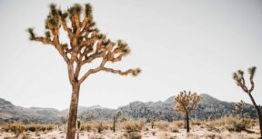 An image of a Joshua Tree with a desert landscape in the background