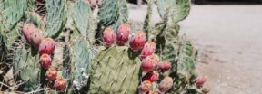 A cactus with fruit set