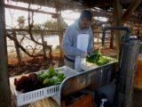 Our gardener washing freshly picked lettuce