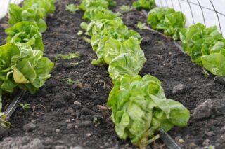 rows of lettuce in garden