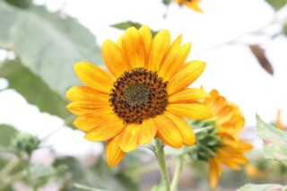 Single sunflower in garden